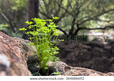 Small cluster of bermuda sorrel vegetation in the forest - stock photo