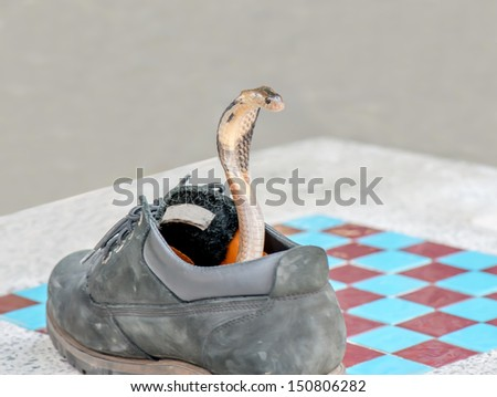 Small Cobra Surreptitious in the shoes - stock photo