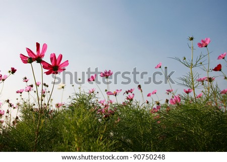 small cosmos and the sky in garden - stock photo