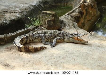 small crocodile on a farm, Thailan - stock photo