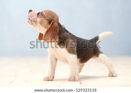 Small cute beagle puppy dog looking stock photo 529323118 small cute beagle puppy dog looking up voltagebd Image collections