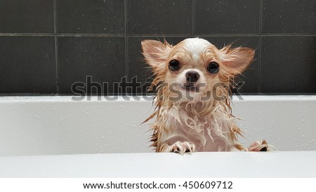 Small cute brown chihuahua dog waiting for owner in the tub after taking a bath in bathtub. - stock photo