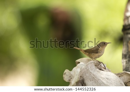 Small cute brown little bird hideing on a horse skull that uses as a nest. Green blured background, environment. Wildlife. Troglodytes Aedon Musculus Cobbi, ratona comun, passeriformes. Fauna. - stock photo