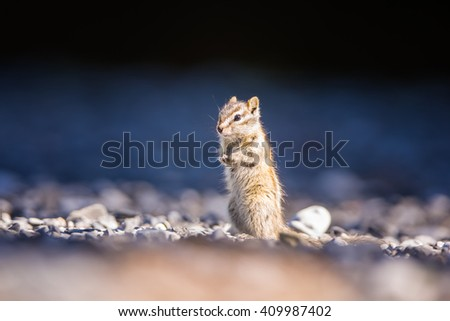 Small cute chipmunk standing up to have a better look around on. Blue harmonious background. - stock photo