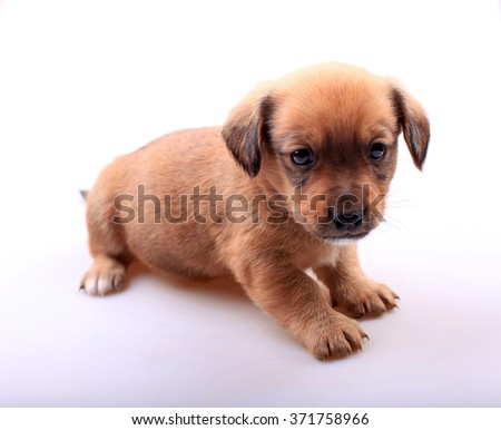 Small cute dachshund puppy on white background. Selective focus - stock photo