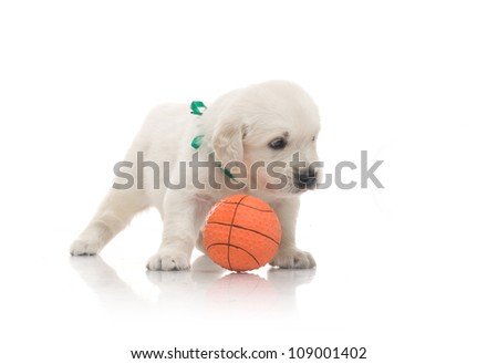 small cute golden retriever puppy play with orange ball,  on white background - stock photo