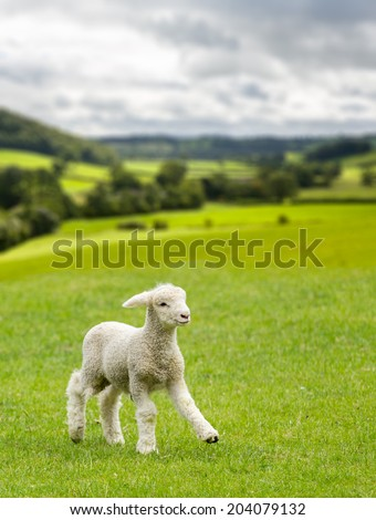 Small cute lamb gambolling in a meadow in Yorkshire Dales farm - stock photo