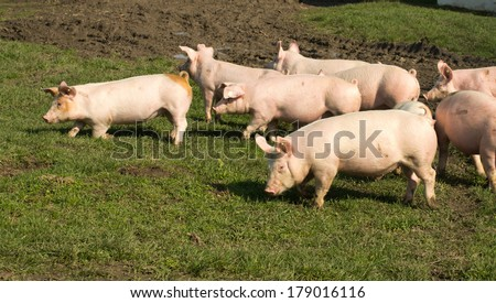 Small cute pigs walking on grass and muddy field - stock photo