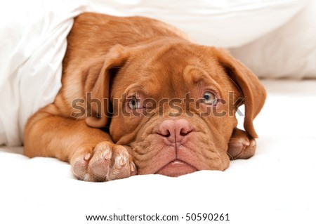 small cute puppy is ready for sleep - stock photo