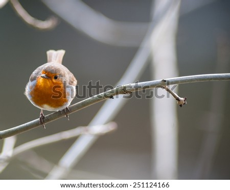 small cute robin bird perched on tree twig  - stock photo