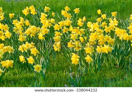 Small daffodils field in green meadow; Spring messengers; Easter greetings - stock photo