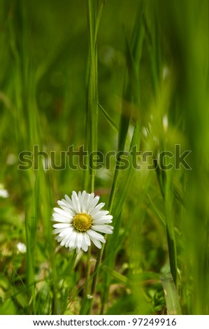 Small daisies in a green grass field - stock photo