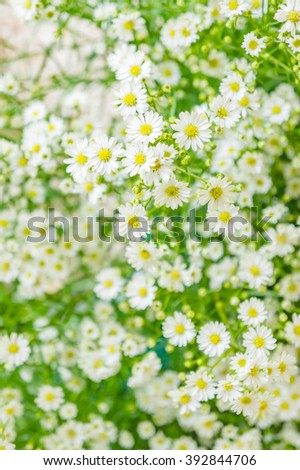 small daisies on a green meadow, selective focus using as nature background or wallpaper.