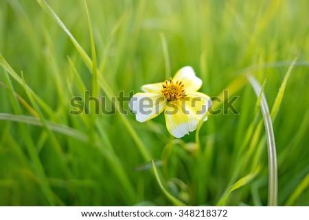Small daisy in a grass field - shallow DOF - stock photo