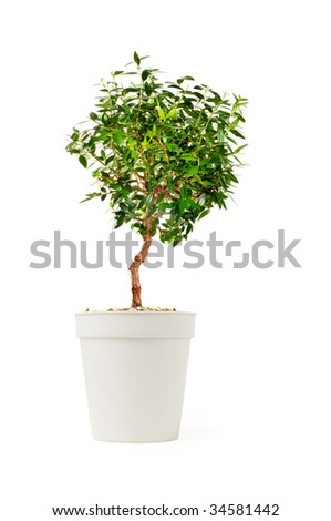 Small decorative tree isolated on a white - stock photo