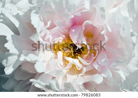 Small depth of sharpness, peony flower closeup
