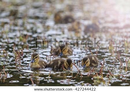 Small dining ducklings in water with sunny hotspot - stock photo