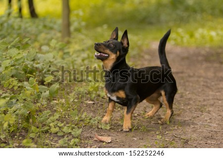 small dog awaiting its toy - stock photo