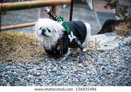 small dog in funny samurai costume - stock photo