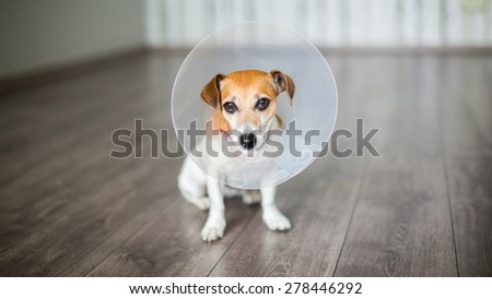 Small dog Jack Russell terrier sitting with vet Elizabethan collar on the gray floor - stock photo