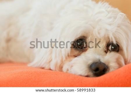 Small dog lying on rug - sorrowful expression - stock photo