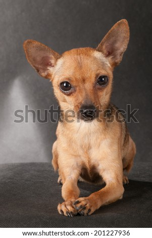 small dog on a black background in studio