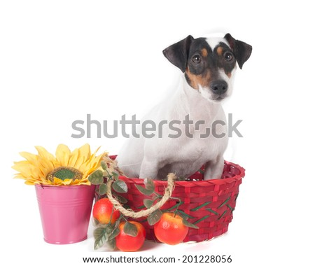 small dog on a white background in studio