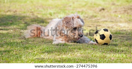 Small dog playing with a ball