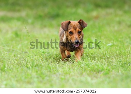 small dog running towards the camera on green lawn