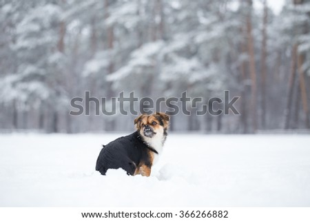 Small dog saunters in the winter. Dog sits his back to the photographer and shows his teeth. - stock photo