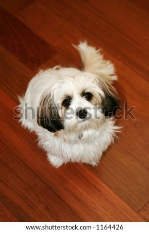 Small dog, shitzu papillion cross - stock photo
