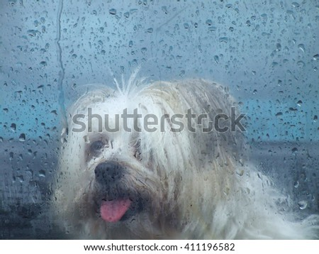 Small dog waiting at wet window near Brisbane in Queensland, Australia - stock photo