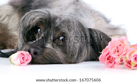 Small doggie. Decorative thoroughbred dog. Puppy of the Petersburg orchid. Shaggy doggie. The dog lies. Doggie and roses. Doggie and flowers. - stock photo