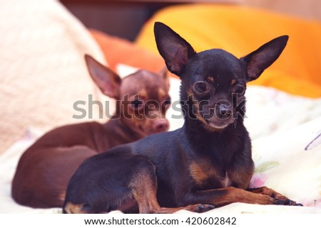 small dogs - stock photo
