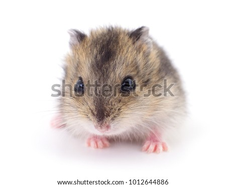 Small domestic hamster isolated on white background.