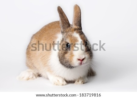 Small domestic ruddy-white rabbit with blue eyes - stock photo