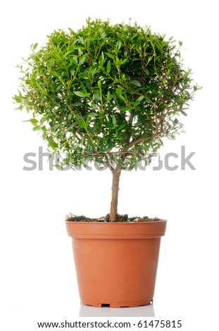 Small domestic tree isolated over white - stock photo