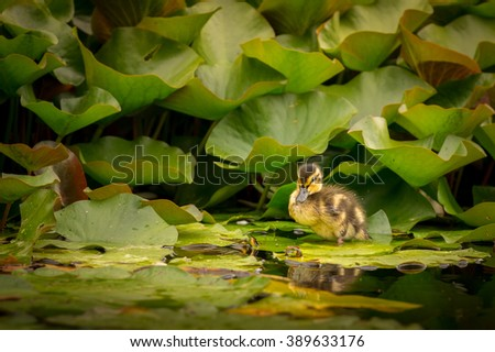 Small duck baby on water lily leaf - stock photo