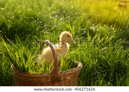 Small duckling outdoor in a basket on green grass - stock photo
