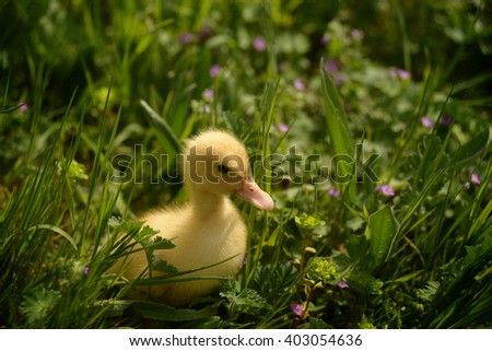 Small duckling outdoor on green grass
