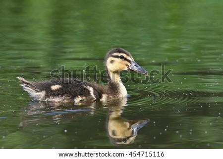 Small ducks on a pond. Fledglings mallards.(Anas platyrhynchos) - stock photo