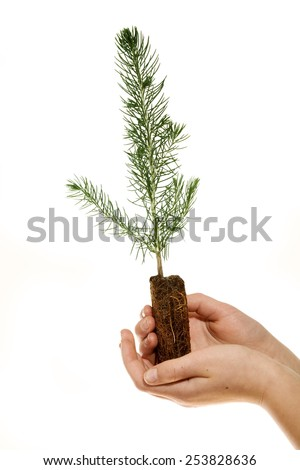 Small evergreen sapling held against a white background. - stock photo