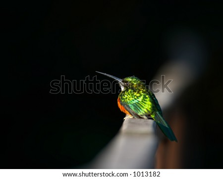 Small exotic bird, Pantanal, Brazil - stock photo