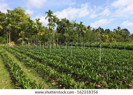 small farm palm tree - stock photo
