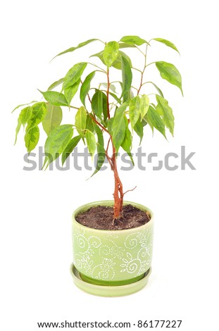Small ficus tree in a green  pot isolated on  white - stock photo