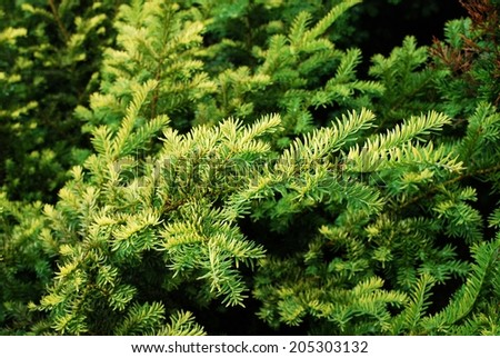 Small fir tree green leaves close up. Europe. - stock photo