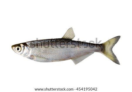 small fish a bleak on a white background - stock photo