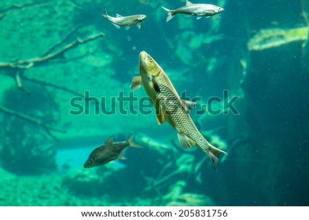 Small fish in underwater view in the river - stock photo