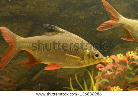 small fishes in an aquarium - stock photo