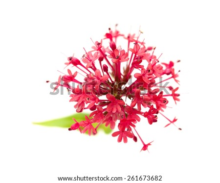 small flowers of Centranthus ruber isolatad on white background - stock photo